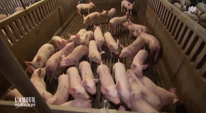 Retour à l'élevage de porcs de Florent...