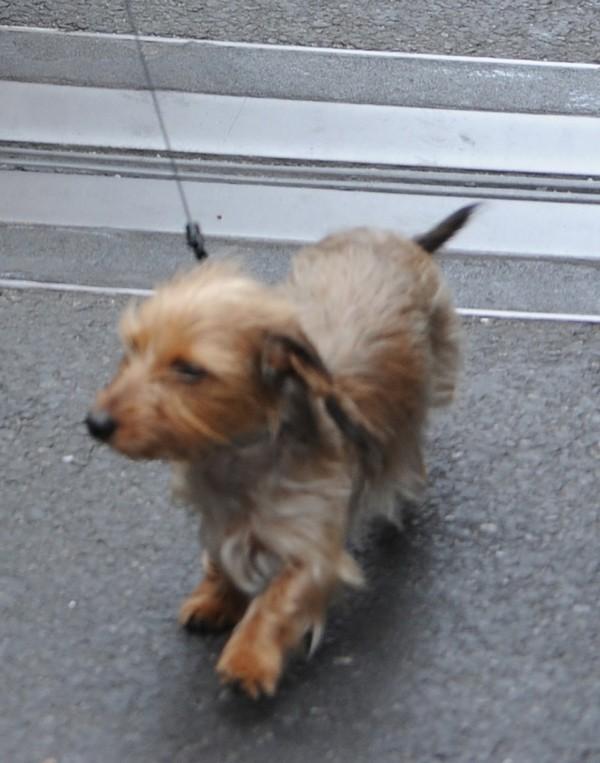 Le chien de Leighton Meester sur le tournage de Gossip Girl à New-York le 21 août 2012
