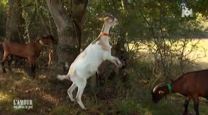 Les chèvres d'Isabelle