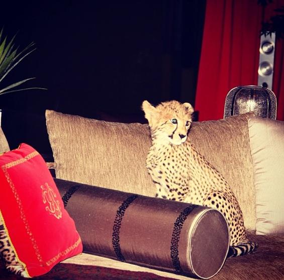Cheetah prend la pose !