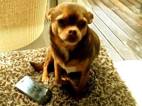 Le petit chien de Sophie Tapie : Elvis !